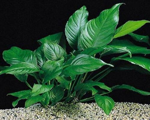 Anubias caladifolia