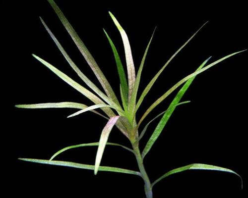 Blyxa alternofolia